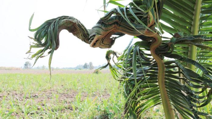 ต้นมะพร้าวน้ำหอมคล้ายพญานาค
