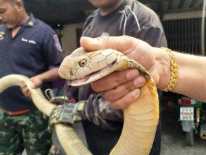 คอหวยเชื่องูเจ้าที่ แห่ตีเลขเด็ด งูจงอางยาว 4 เมตร