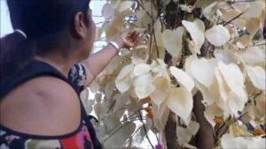 ต้นโพธิ์ใบสีทอง งวดที่แล้วรวยถ้วนหน้า